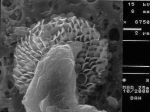 cf. Polycrater galapagensis