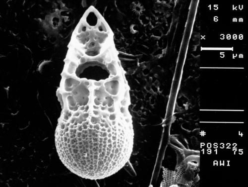 Achradina pulchra