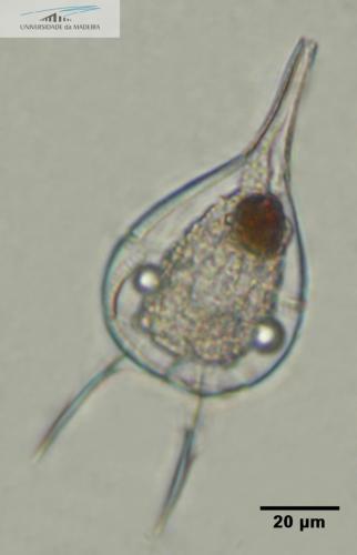 Podolampas elegans