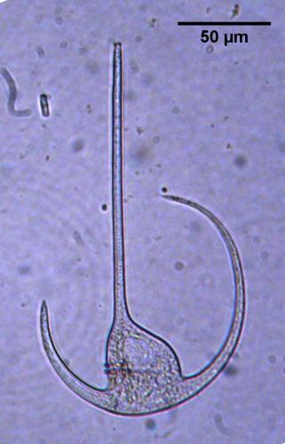 Ceratium declinatum f. brachiatum